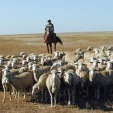 Қожайынның қойын сатып байыған: Түркістан облысында қойшы жігіт қолға түсті