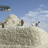 Қазақстанда 316 мың тонна шитті мақта жиналды – ҚР АШМ