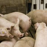 Бестамақтағы шошқа фермасы: жұмысшылар мен ауыл тұрғындар арасында дау туды