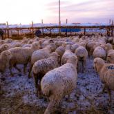 Жамбыл облысында 600 қойымен бірге жоғалып кеткен қойшы табылды