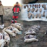 Түркістан облысында 8 ақбөкенді заңсыз атып алған браконьерлер ұсталды