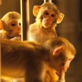Қытайда жаңа дерт: маймыл вирусынан бір адам қайтыс болды