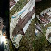 Ертіс өзенінде 3,5 млн теңгеге залал келтірген браконьер ұсталды