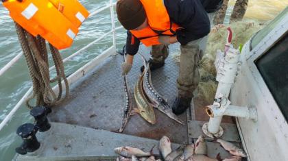 Каспий теңізінде шекарашылар 21 итбалықты тордан шығарып алды
