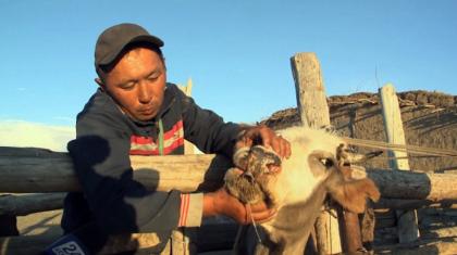 Шығыс Қазақстанда ірі қара арасынан індет шықты