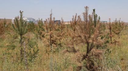 Алматыда бюджет ақшасына отырғызылған қымбат ағаштар суарылмай қурап жатыр